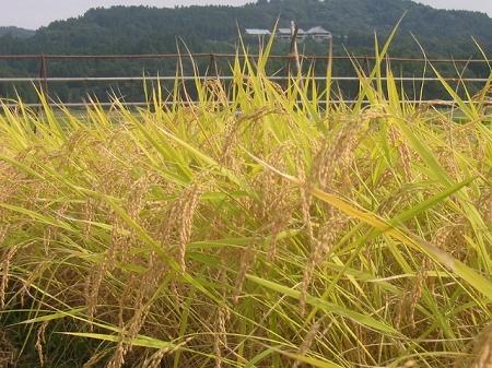 三和稲刈り体験ツアー2002