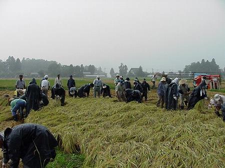 三和稲刈り体験ツアー(2000.9.10)