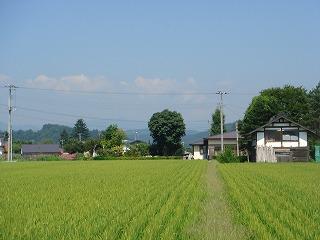 鮭川田んぼ情報(8/14)